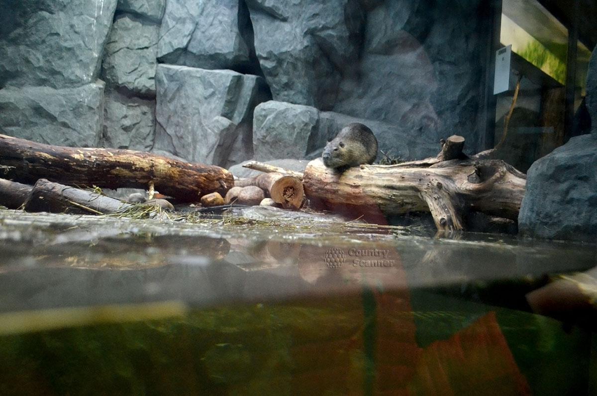 Московский зоопарк. Капибара приветствует гостей.