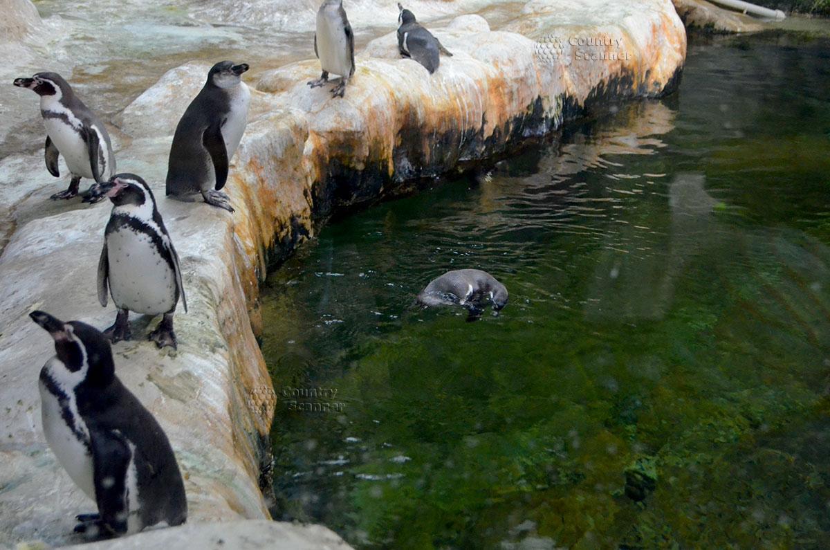 Пингвины в Московском зоопарке.