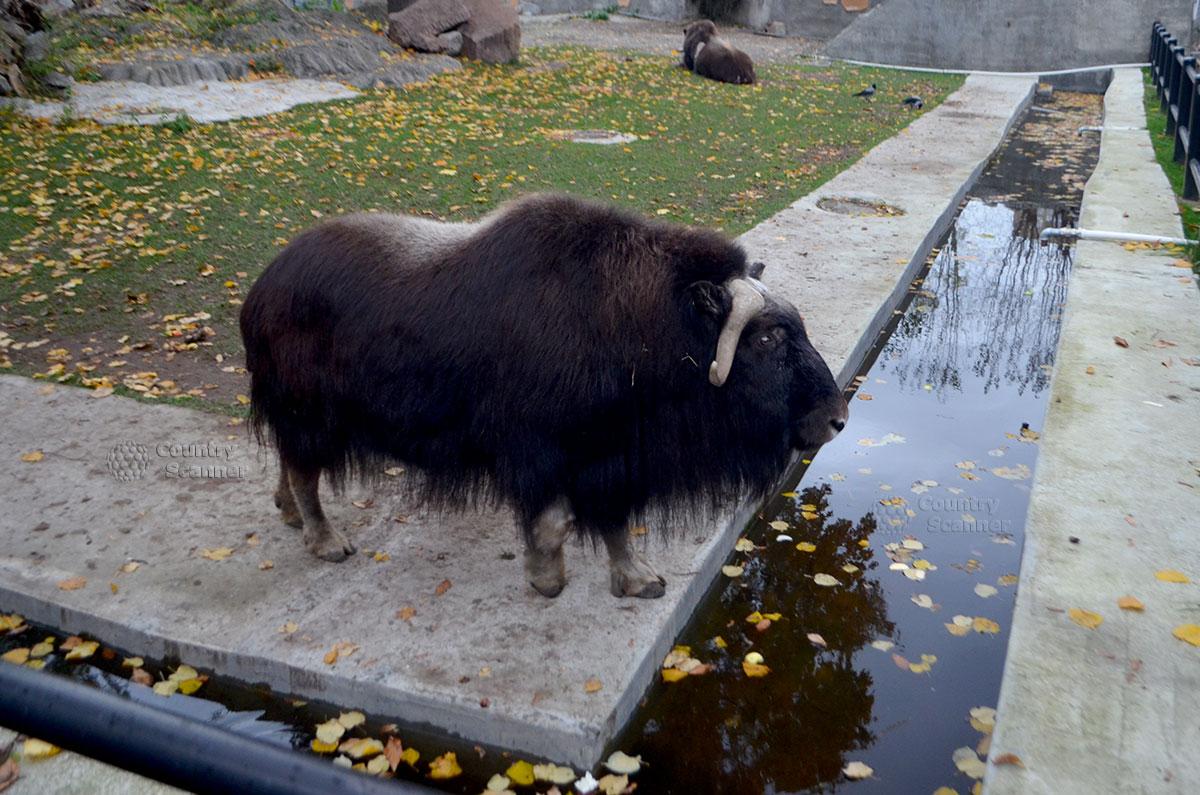 Обитатель каменистой тундры в Московском зоопарке.