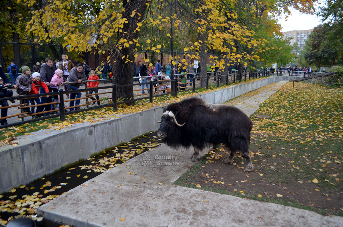 Московский зоопарк. Овцебык.