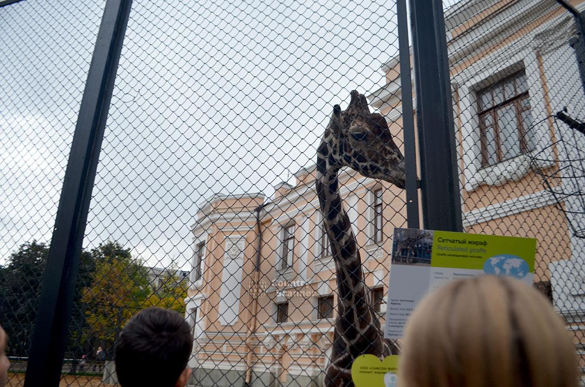 Московский зоопарк. Жираф Самсон.