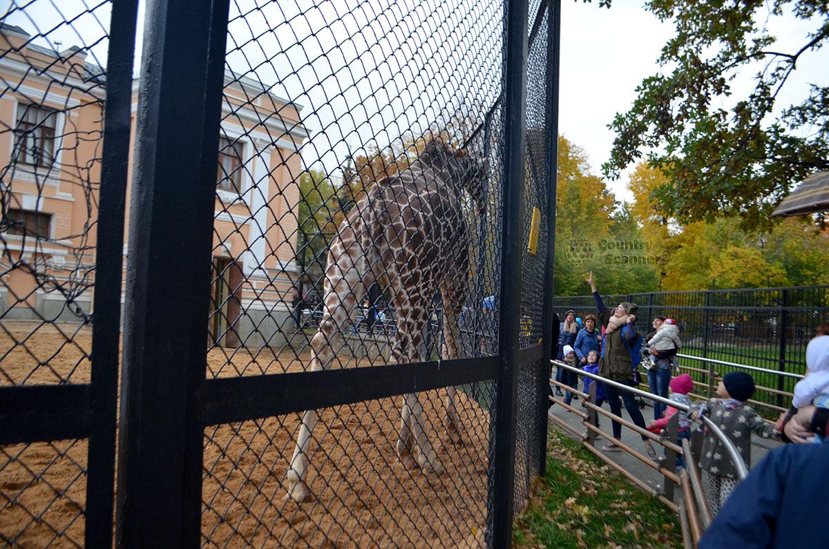 Московский зоопарк. Жираф.