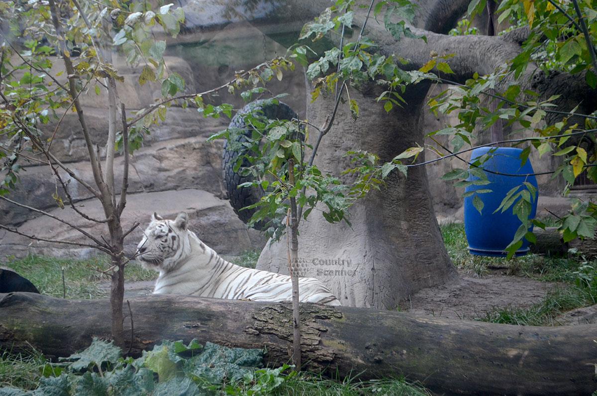 Летний вольер с белым тигром. Московский зоопарк.