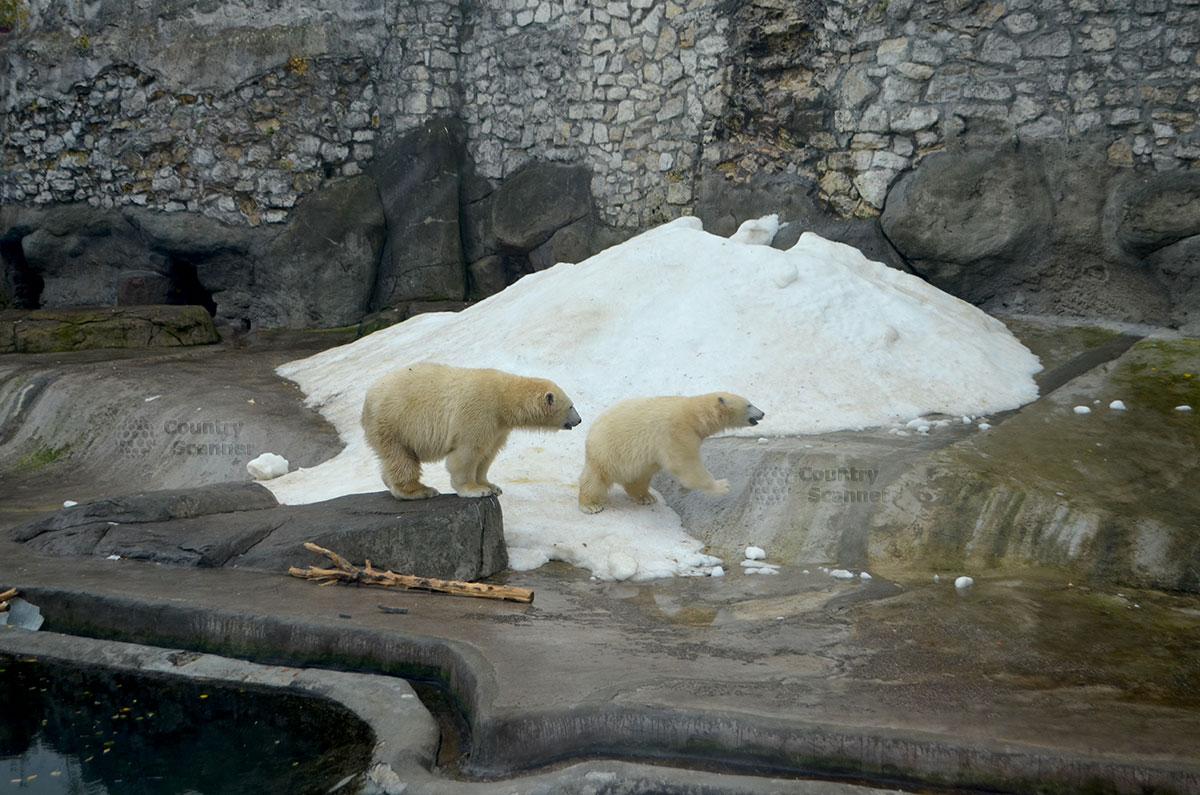 Белые медведи в Московском зоопарке.