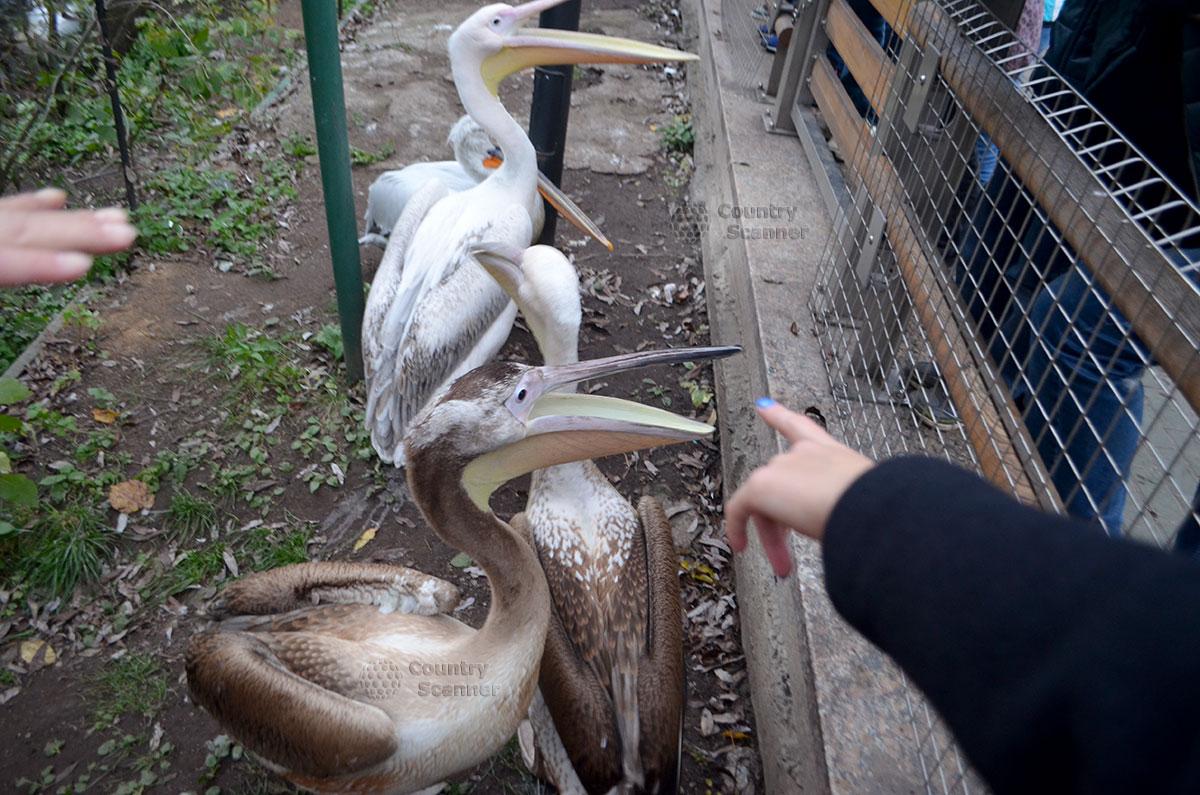 Пеликаны в Московском зоопарке.