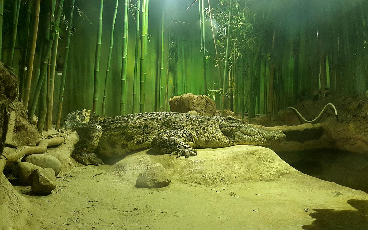 Гигантский крокодил в террариуме Московского зоопарка.