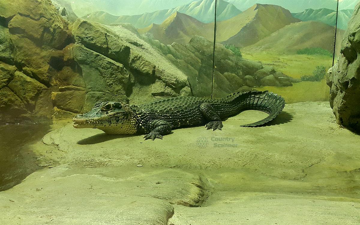 Московский зоопарк. Крокодил.
