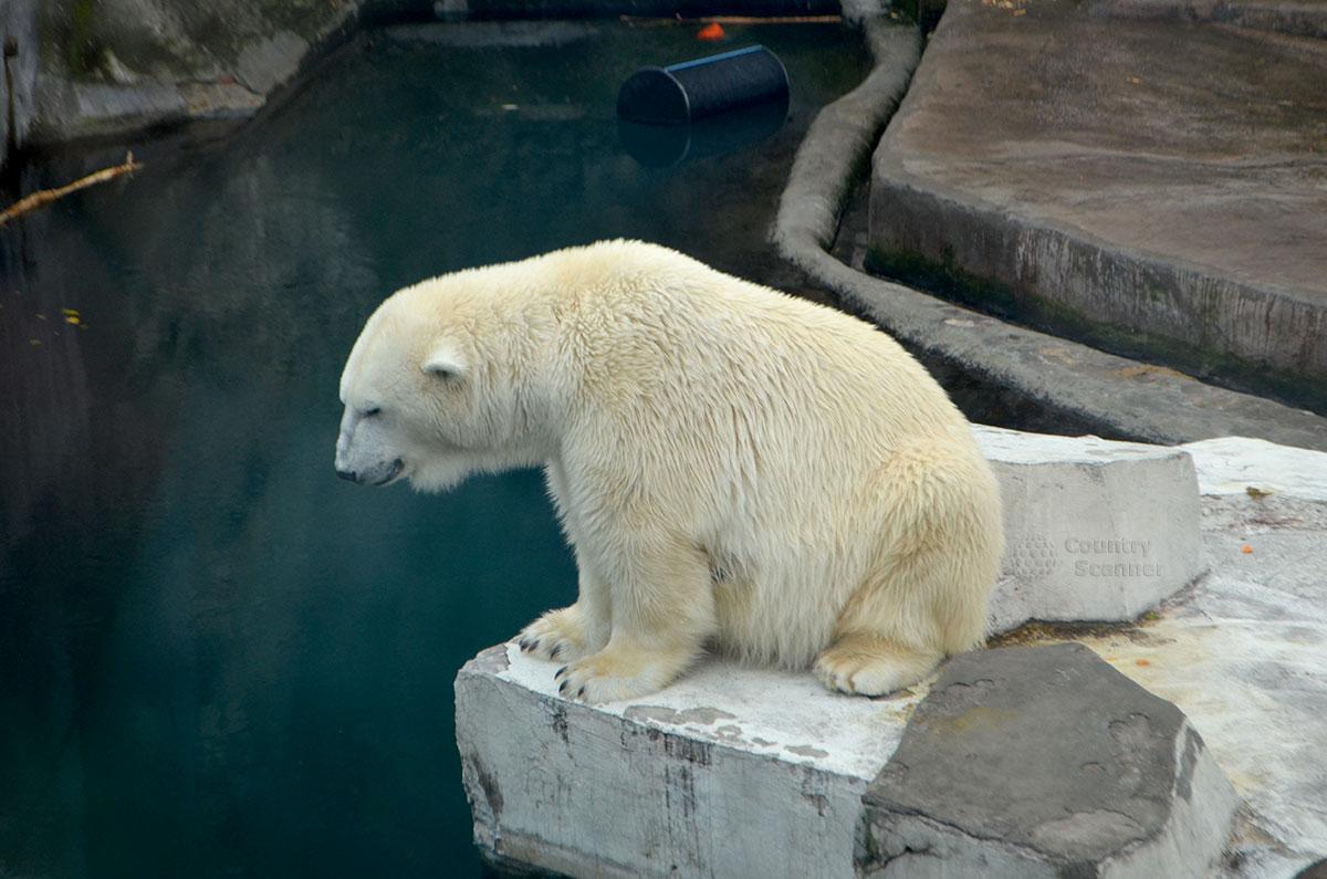 Московский зоопарк. Белый медведь.