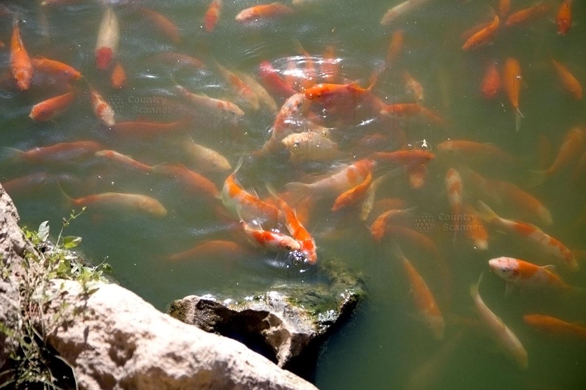 Ожидающие кормления яркие рыбки в Бахчисарайском парке миниатюр