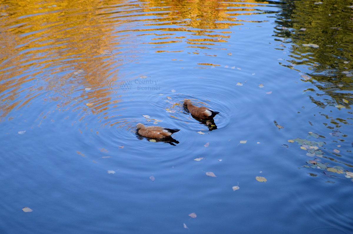Утки в Воронцовском пруду