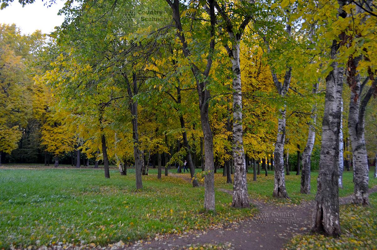 Березы и тропинка в Воронцовском парке