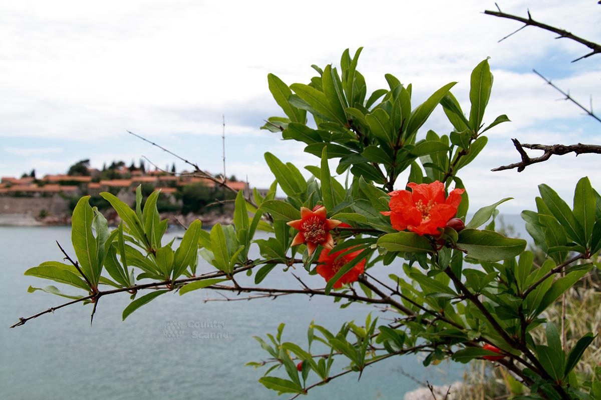 Остров Святого Стефана и яркая растительною Будванской Ривьеры.