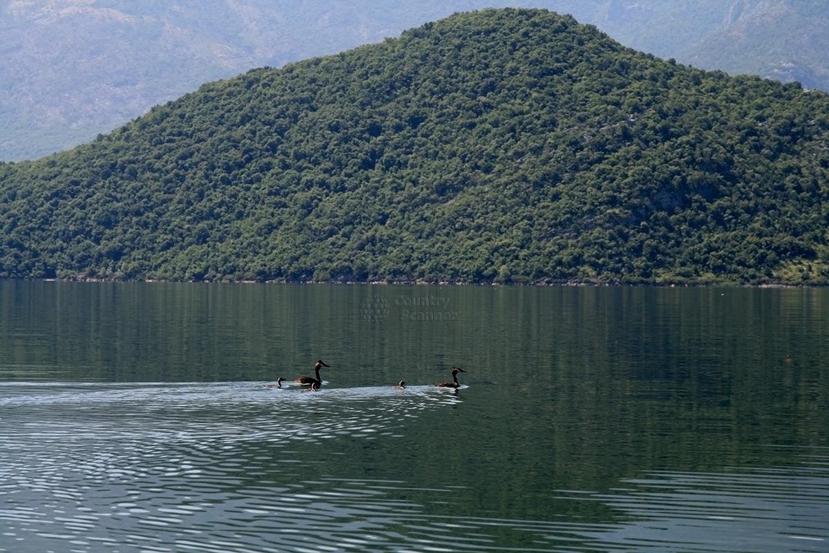 Семейство уток в водах Скадарского озера.