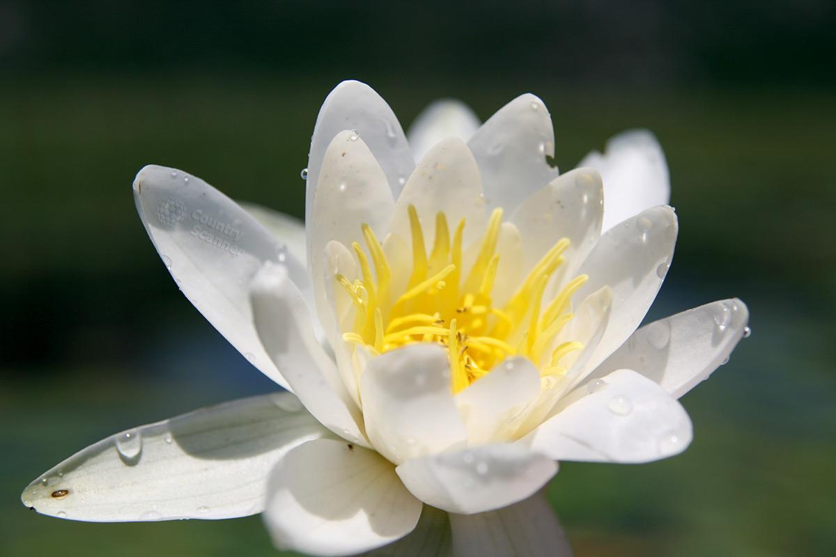 Белоснежная кувшинка, расцветающая на Скадарском озере в начале лета.