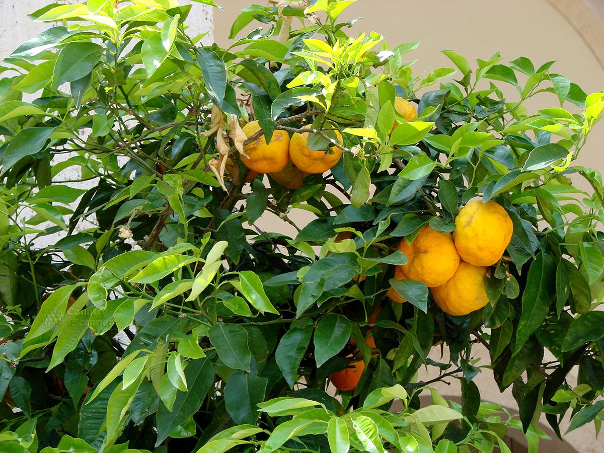Вилла д' Эсте. Апельсины в саду.