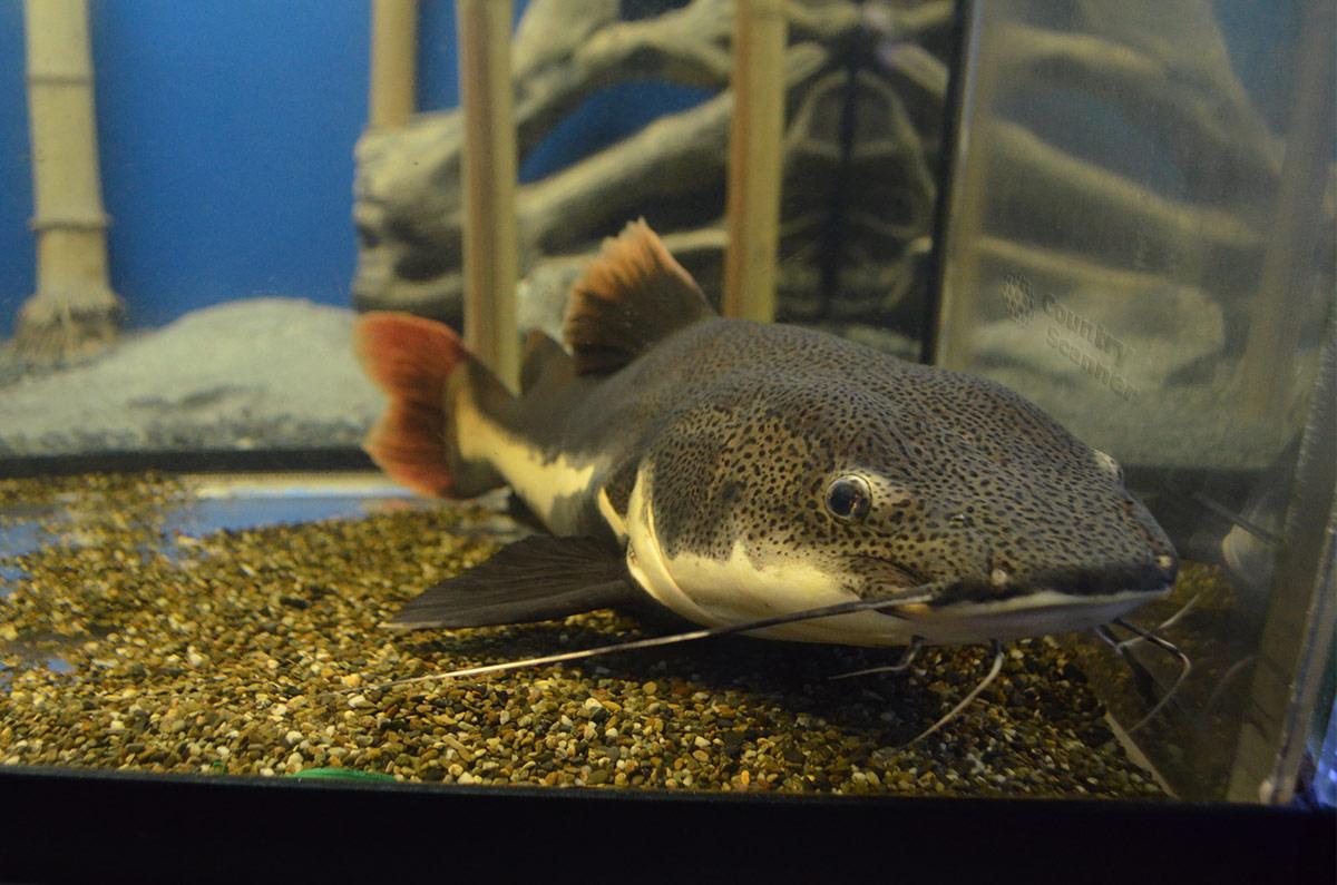 Аквариум в Дендрарии. Донная рыба маскируется под морской песок.