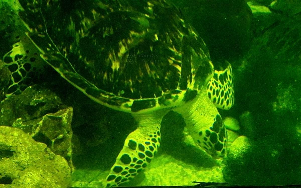 Океанариум в Ривьере, морская черепаха в движении.