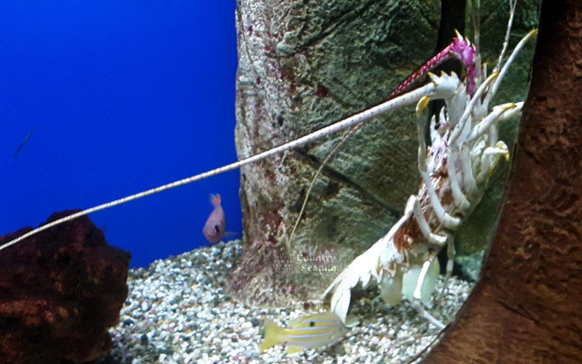 Лангуст – один из самых фотогеничных обитателей океанариума в Ривьере.