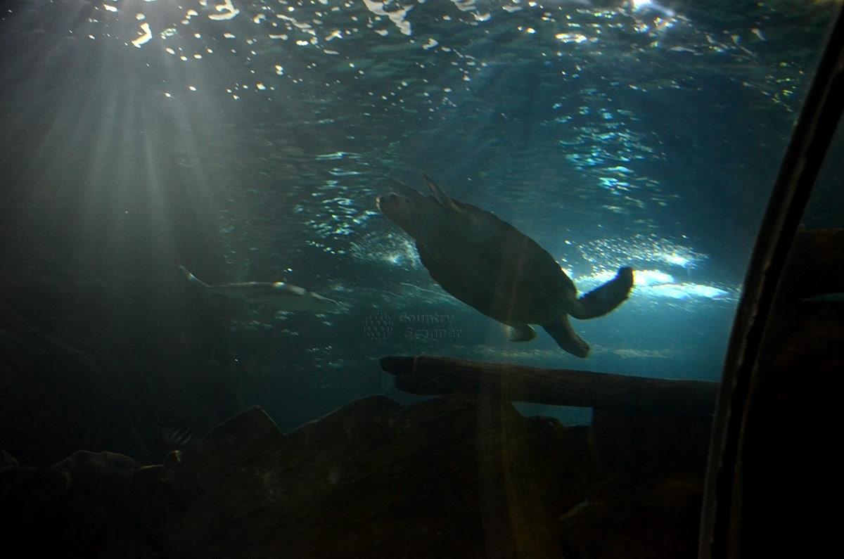 Черепаха, проплывающая над головами посетителей сочинского океанариума.