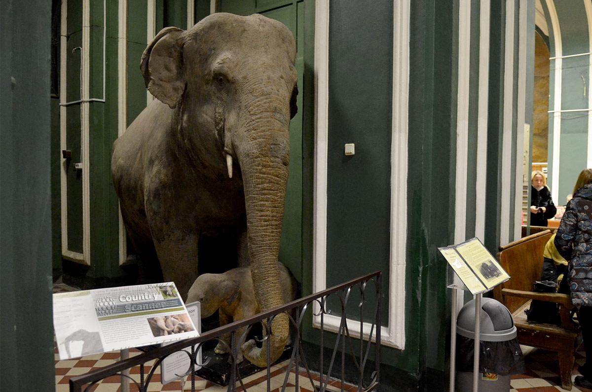 Чучело слонихи Молли встречает посетителей зоологического музея МГУ.