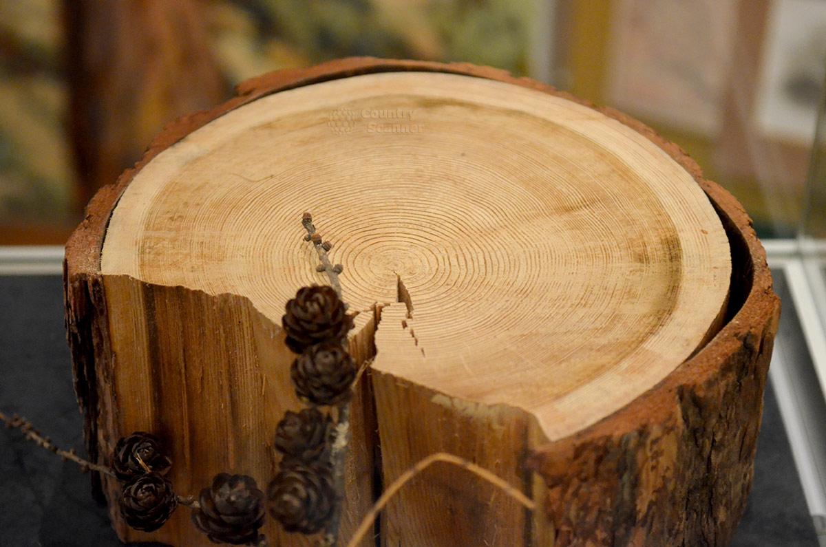 Скол и срез ствола лиственницы в музее леса. Оказывается, именно это ценное дерево наиболее распространено в наших лесах, составляя более 40% из всех пород (сосна – 17%, остальные меньше).