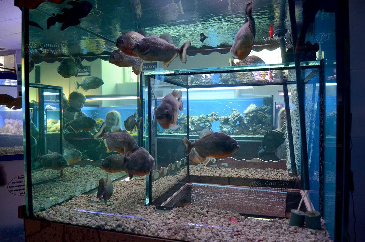 Морской аквариум на Чистых прудах. Клыкастые пираньи.
