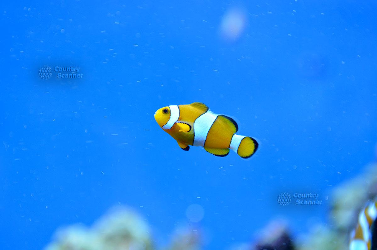 Морской аквариум. Рыба-клоун.