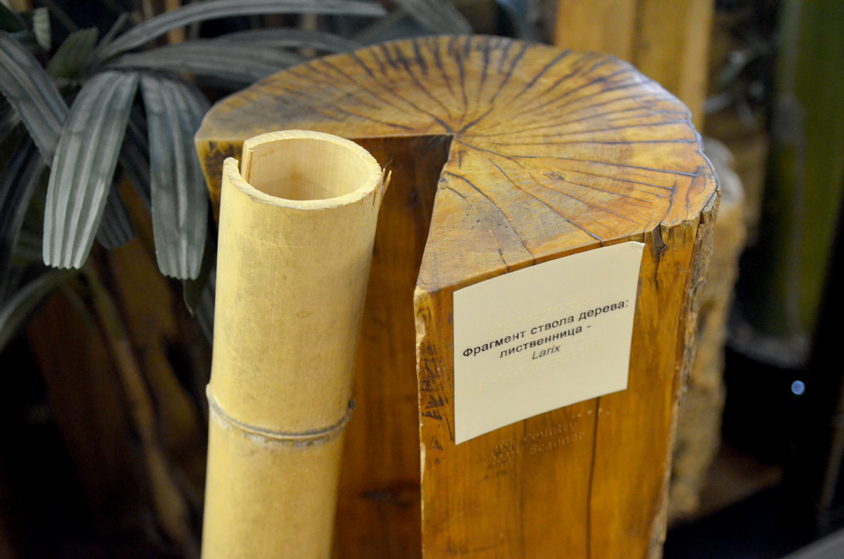 Среди образцов, иллюстрирующих древесную растительность в экспозиции музея Тимирязева, спил лиственницы с выколотым продольным клином. Видна полностью структура древесины.