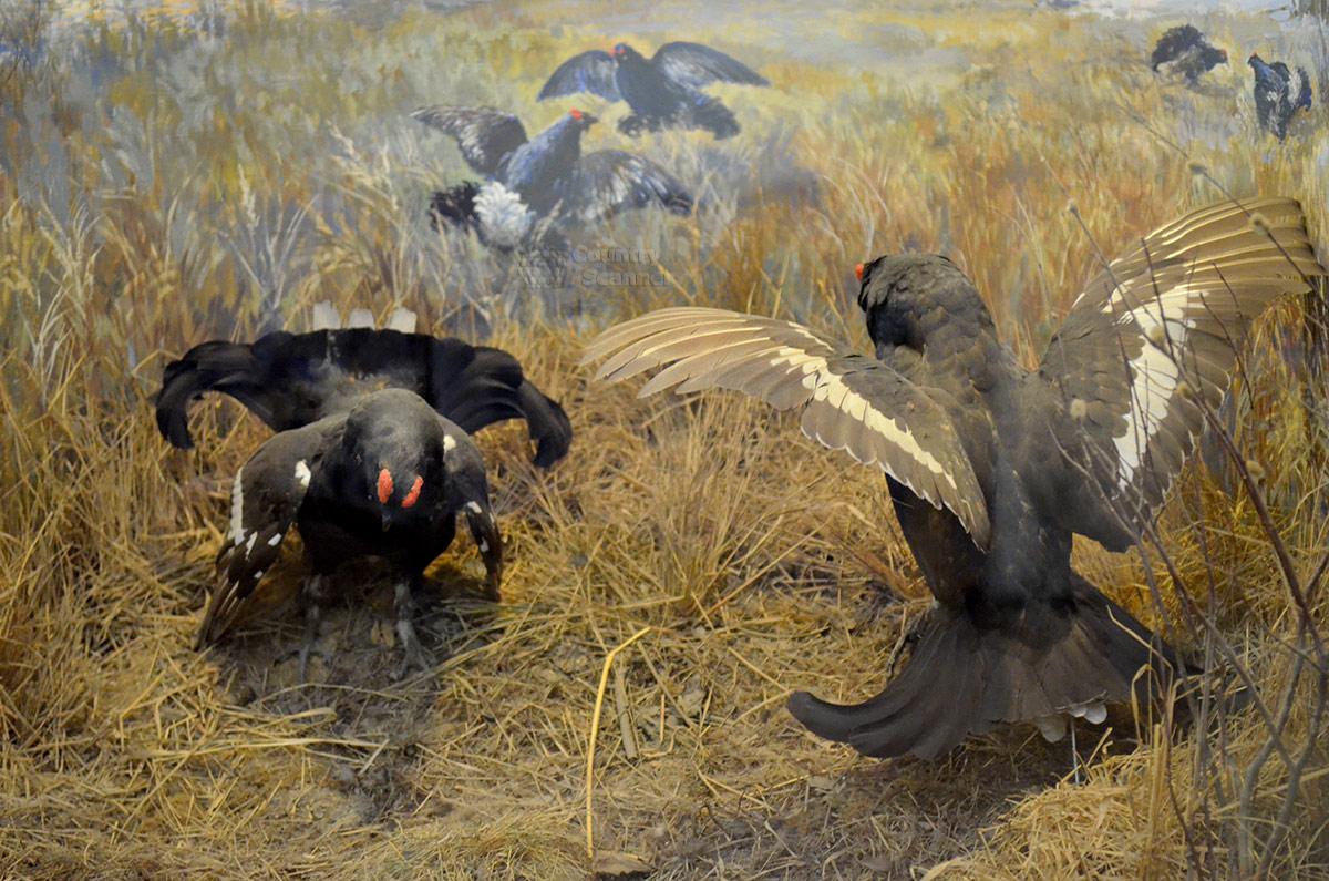 Одна из живописных диорам музея Тимирязева демонстрирует тетеревиный ток в брачный период. Чучела птиц дополняются пейзажем окружающей местности.