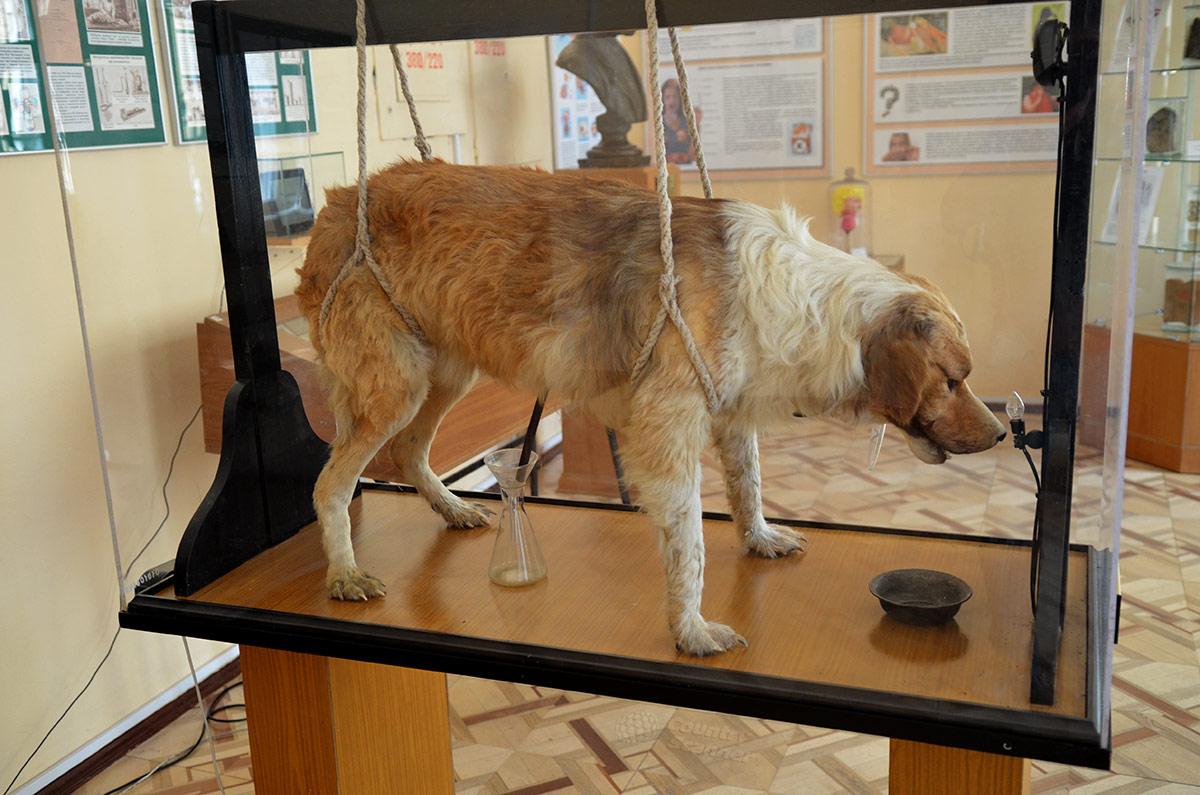 Чучело подопытной собаки в витрине музея гигиены.