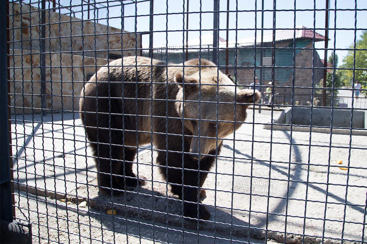 Парк львов Тайган. Бурый медведь.