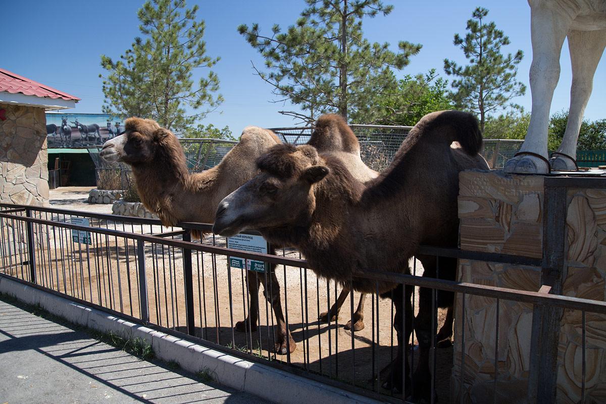 Двугорбые верблюды в парке львов Тайган.