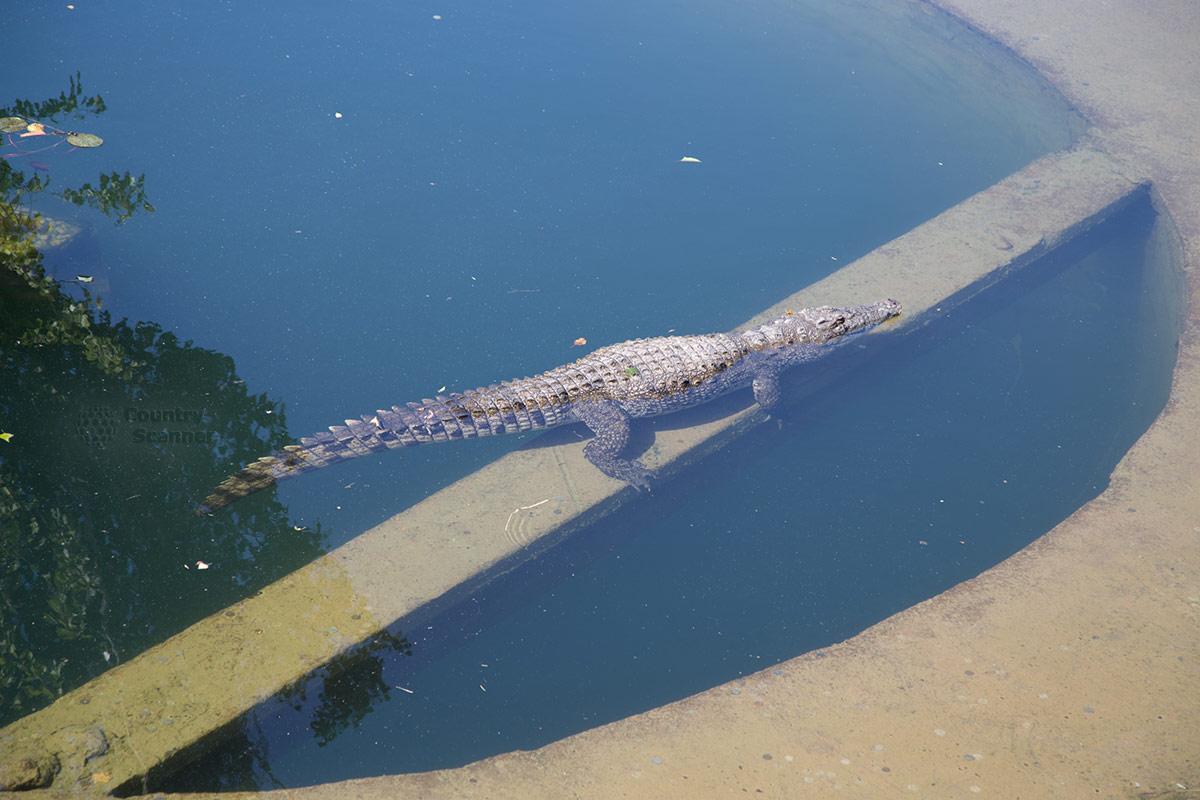 Парк львов Тайган. Крокодил.