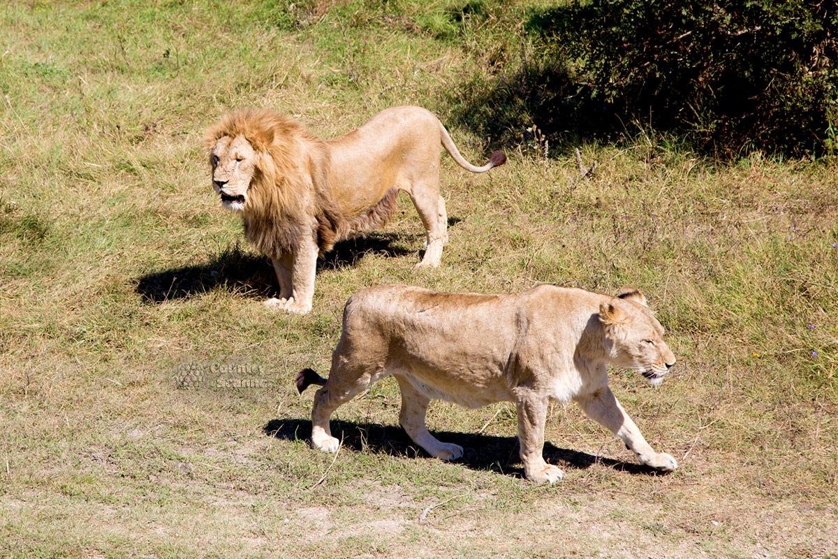 Парк львов Тайган и его хищные представители.