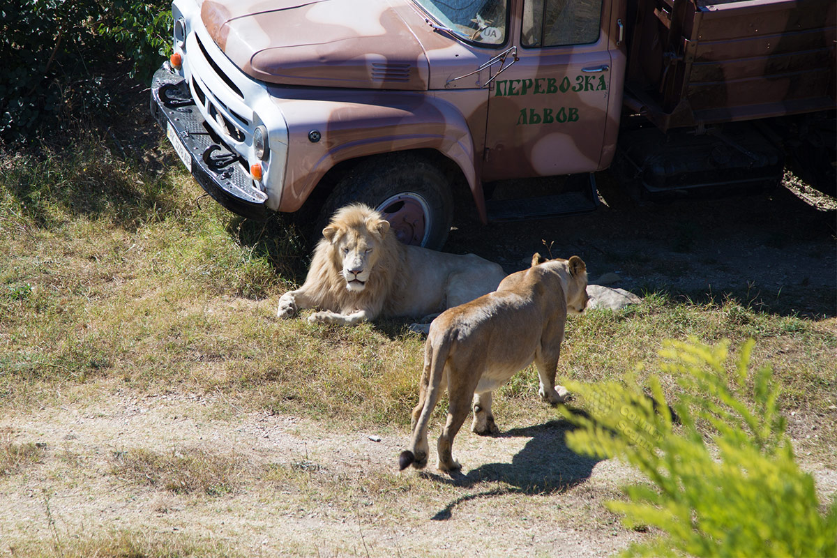 "Парк львов Тайган. ""Царственное"" семейство."