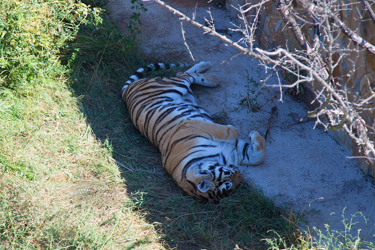 Парк львов Тайган. Дремлющий тигр.