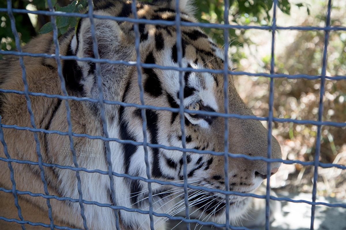 Парк львов Тайган. Тигр.