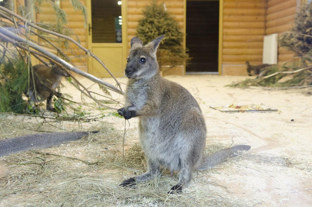 Мини-кенгуру в Ленинградском зоопарке.