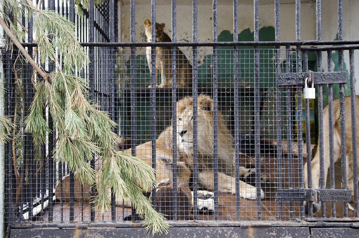 Львы в Ленинградском зоопарке.