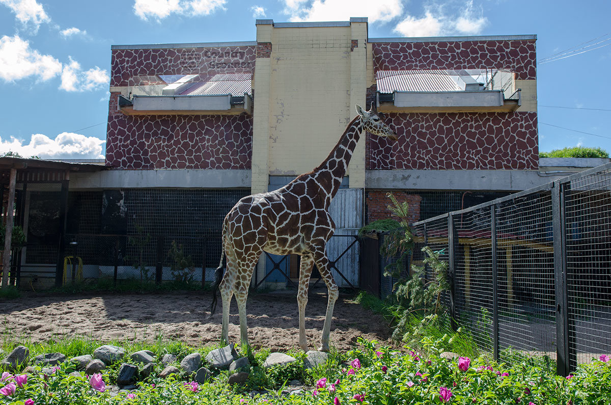 Ленинградский зоопарк. Жираф.