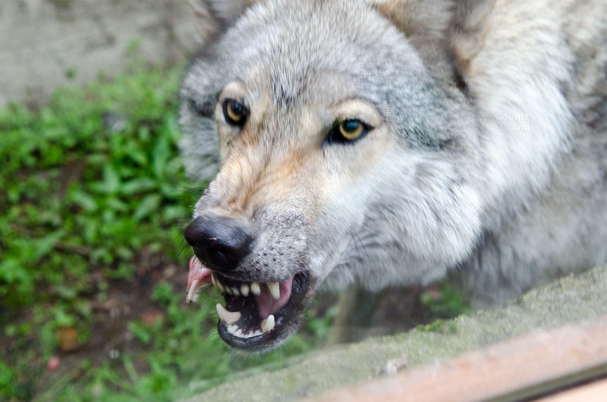 Ленинградский зоопарк. Волк.