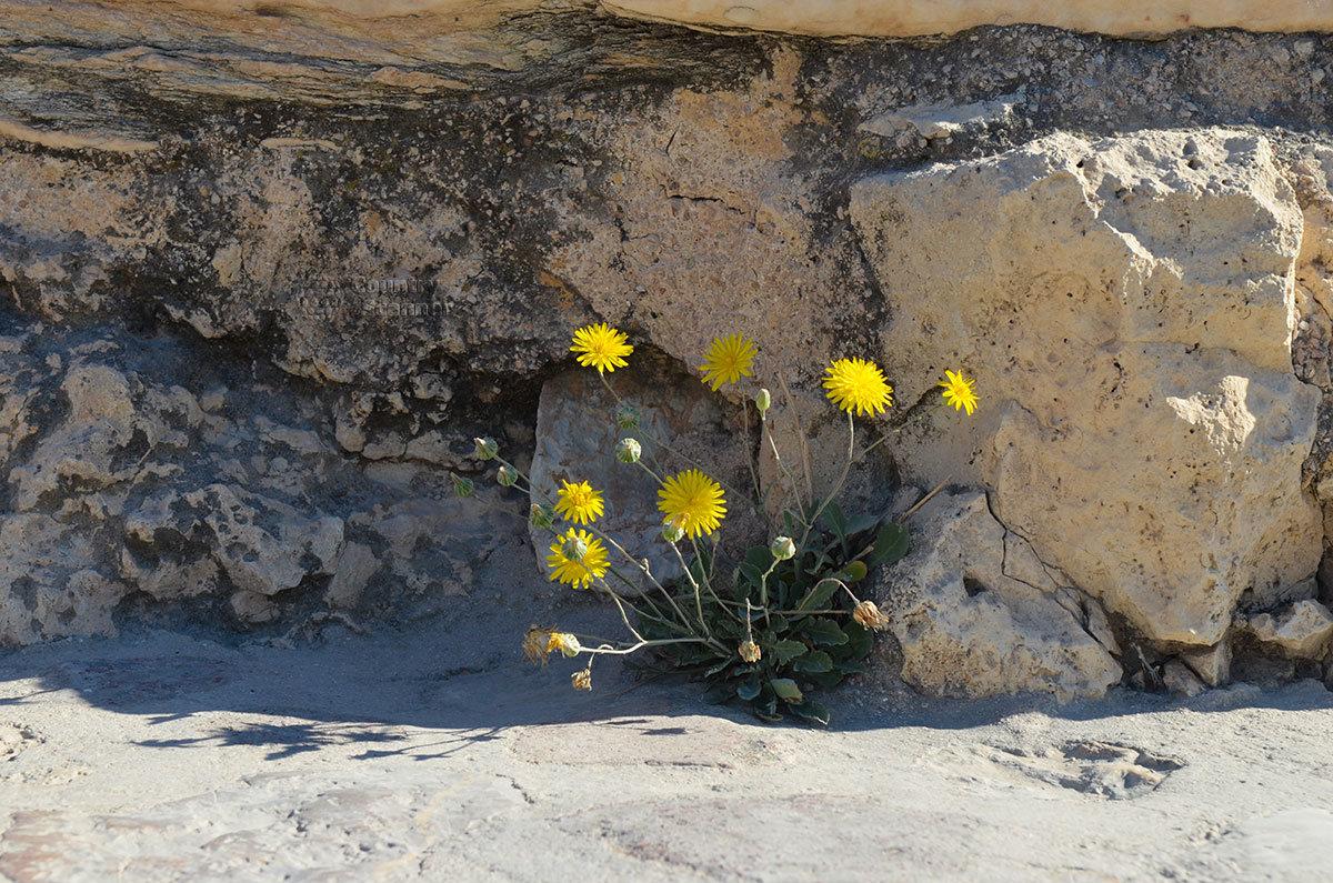 Цветущие одуванчики в расщелинах камней афинского Акрополя возвещают о зарождении новой жизни старейших сооружений.