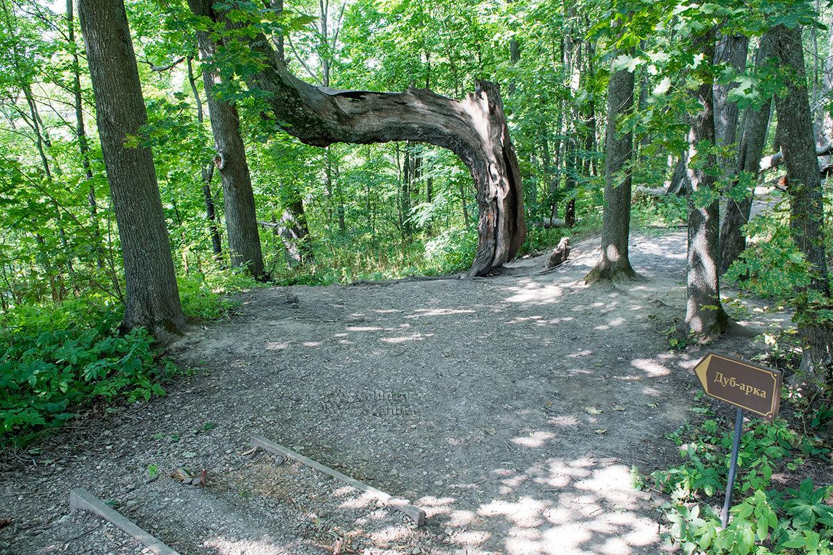 знаменитый дуб-арка в усадьбе Болотова.