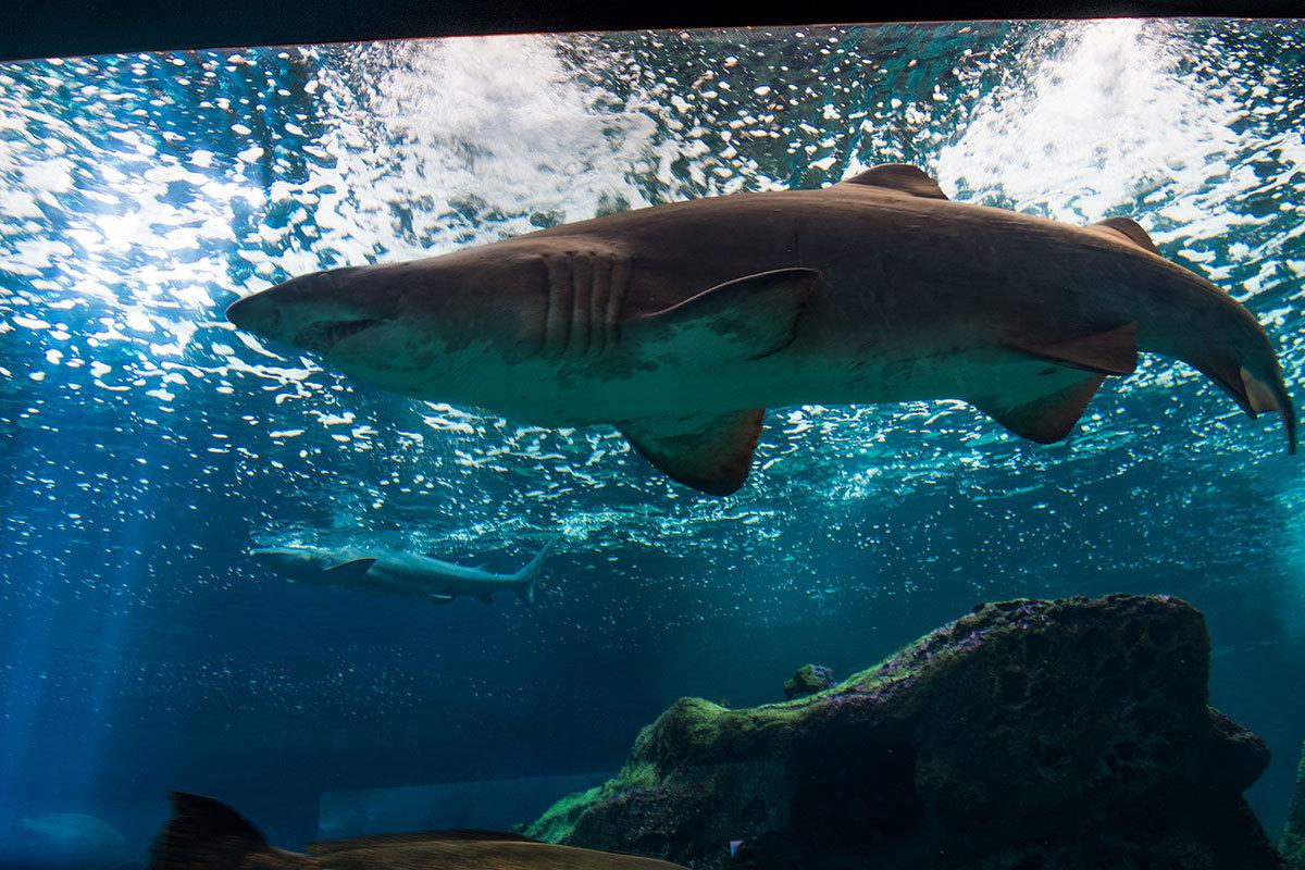 Аквариум Крита. Акула.