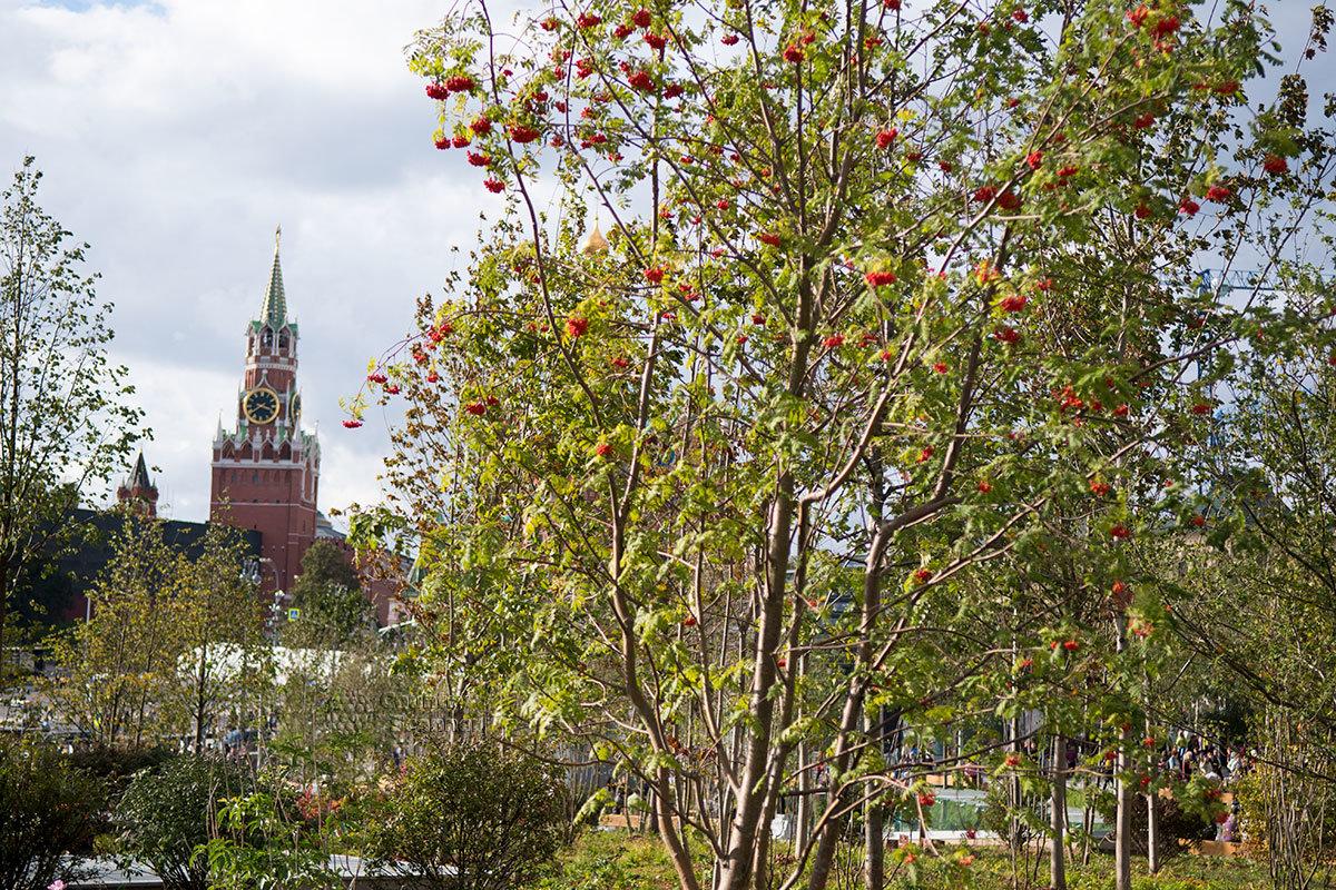 Спасская башня московского Кремля на фоне плодоносящей рябины парка Зарядье – новая визитная карточка центра столицы.