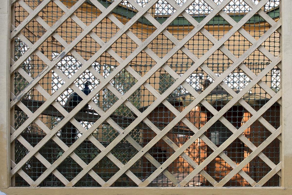 Вольер для птиц в Кусково имеет ограждения в виде крупной решетки, потому что содержат в нем павлинов – пернатых довольно крупных.