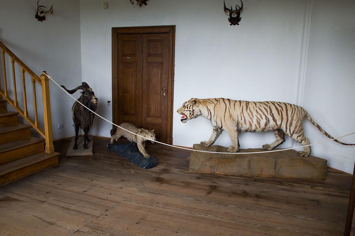 Перед лестницей в замке Битов выставлены чучела горного козла, миниатюрного гепарда и грозного азиатского тигра.