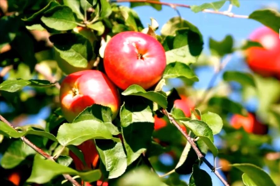 новость 16-04-2018 Собрать фрукты и забрать их с собой предложат туристам в Милане