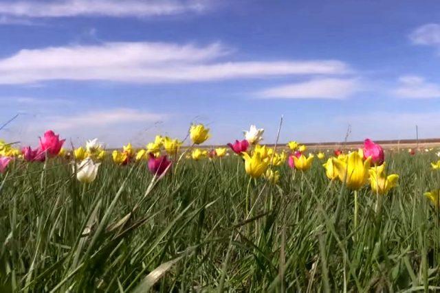 Новость 7-05-2018 Фестиваль тюльпанов в Саратовской области посетило около 40 тысяч гостей
