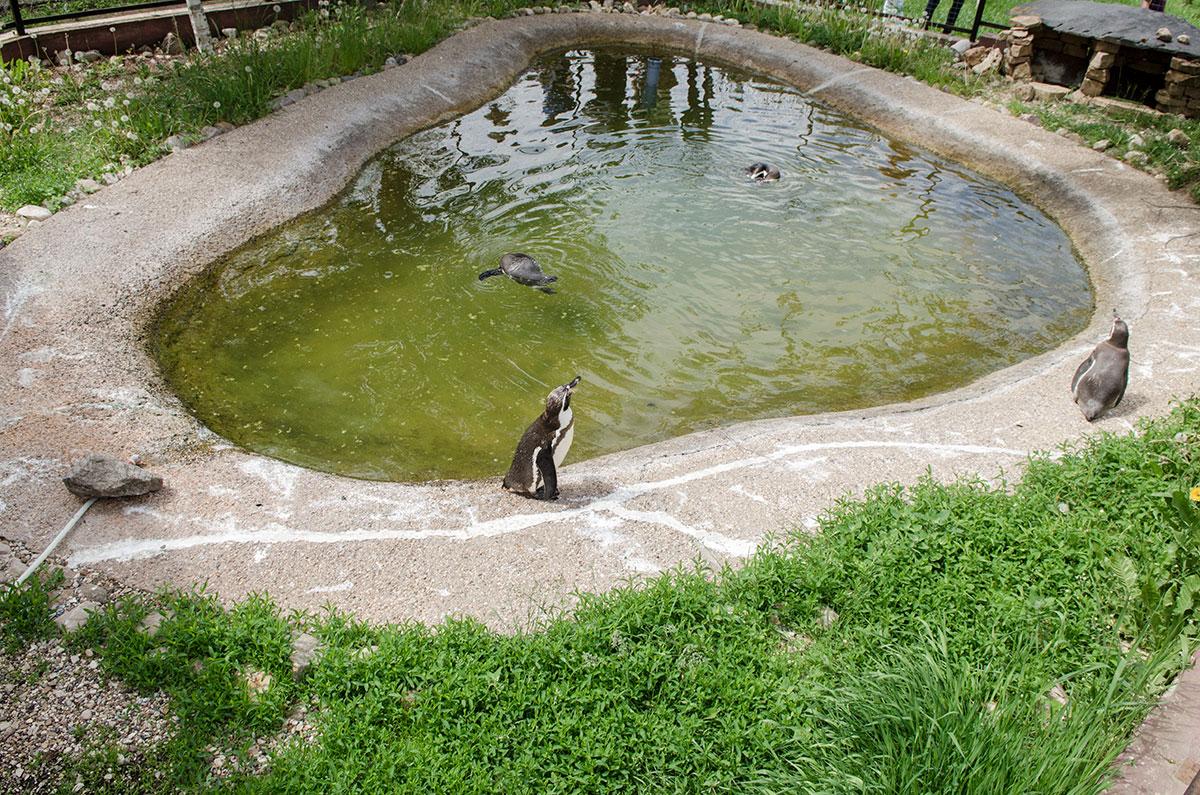 Небольшой бассейн на территории парка птиц Воробьи оказался подходящим пристанищем для небольших галапагосских пингвинов.